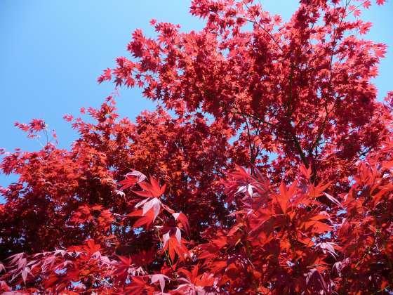 2010029春紅葉2.jpg